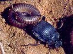 chrząszcz,koprofagia,owady,zwierzęta,odkrycie, nauka,stonoga,drapieżnik