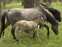 Konie udomowiono wcześniej niż sądziliśmy