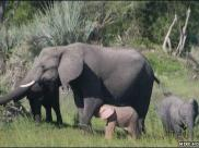Fot.: słon afrykanski albinos (Mike Holding,BBC)