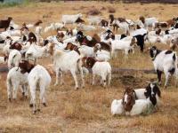 200 kóz w centrali Google