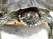 Fot.: Żółw czerwonolicy (Trachemys scripta elegans)