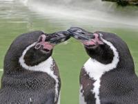 Homoseksualne pingwiny rodzicami!
