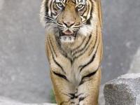 Nowy park narodowy dla tygrysa