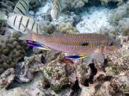 Fot.: Kontrastowo ubarwione ryby czyściciele i ich duży klient (Wikipedia, CC)