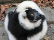 Fot.: Lemur wari - jeden z zagrożonych gatunków