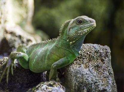 Agama Błotna (Chinese Water Dragon)