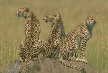 Gepardy, Leopardy, Jaguary 4