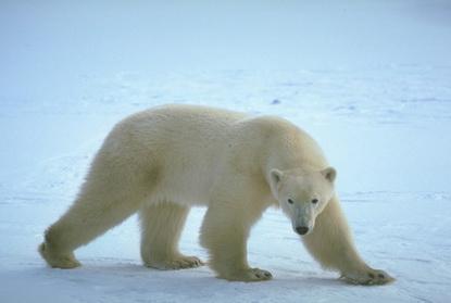 Dzika Alaska 8