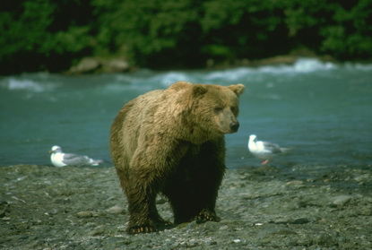 Dzika Alaska 33