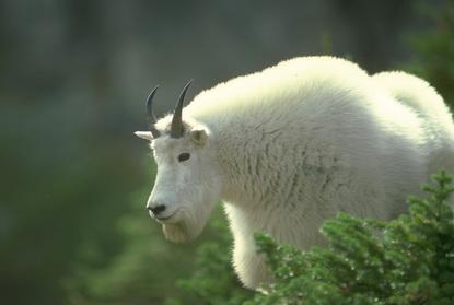 Dzika Alaska 42