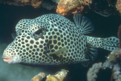 Ryba 31
