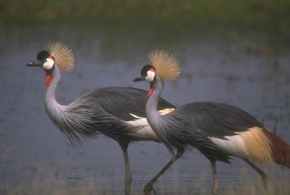 Ptaki brodzące 14