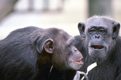 Małpy 33
