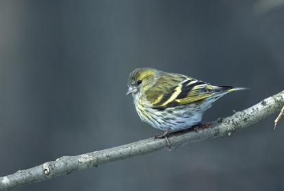 Ptaki w Polsce 296