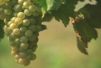 Winogrona i wino 6