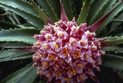 Kwiaty kaktusa 4