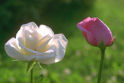 Róże 84