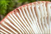 Balszki Russula emetica, By amadej trnkoczy (amadej) [CC BY-SA 3.0], via Wikimedia Commons