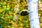Białoporek brzozowy, fot. shutterstock
