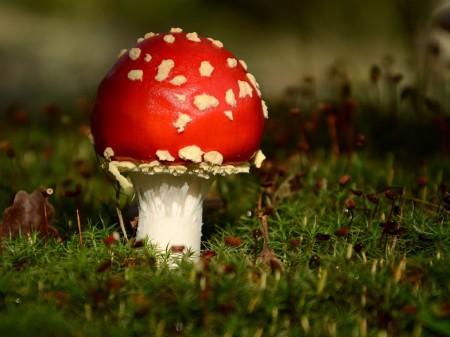 Muchomor czerwony - fot. Piotr Szewczyk