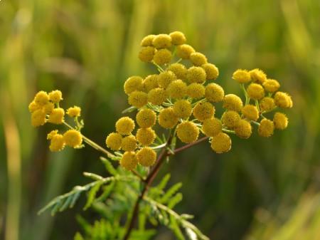 Wrotycz pospolity - kwiatostany. By Ivar Leidus (Own work) [CC BY-SA 3.0], via Wikimedia Commons