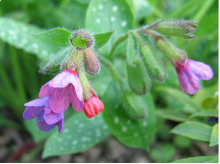 Pulmonaria officinalis, By Kristian Peters -- Fabelfroh 07:59, 14 May 2005 (UTC) (photographed by myself) [GFDL or CC-BY-SA-3.0], via Wikimedia Commons