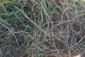 Kłącze perzu z rozłogami. By Kweek rizomen [CC BY-SA 3.0], via Wikimedia Commons