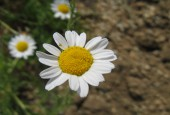 Rumian rzymski, kwiat, KENPEI [GFDL, CC-BY-SA-3.0 or CC BY-SA 2.5-2.0-1.0], via Wikimedia Commons