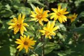Słoneczniki bulwiasty (topinambur) - kwiaty. Słonecznik bulwiasty. By Tauno Erik (Own work) [GFDL or CC BY-SA 4.0-3.0-2.5-2.0-1.0], via Wikimedia Commons