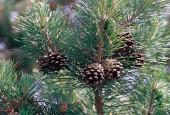 Sosna zwyczajna - szyszki. By USDA-NRCS PLANTS Database / Herman, D.E. et al. 1996. North Dakota tree handbook. USDA NRCS ND State Soil Conservation Committee; NDSU Extension and Western Area Power Admin., Bismarck, ND. ([1]) [Public domain], via Wikimedia Commons