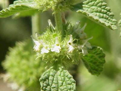 Szanta zwyczajna - kwiaty. By Kurt Stüber [1] [GFDL or CC-BY-SA-3.0], via Wikimedia Commons